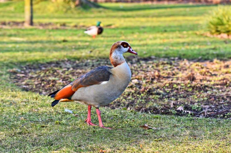 egyptian-goose-3215748_1920