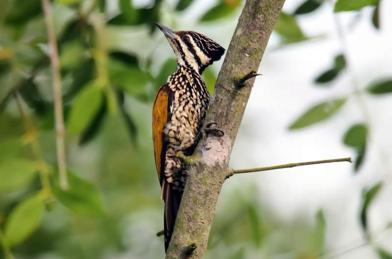 flame-back-woodpecker-female-4556048_1920