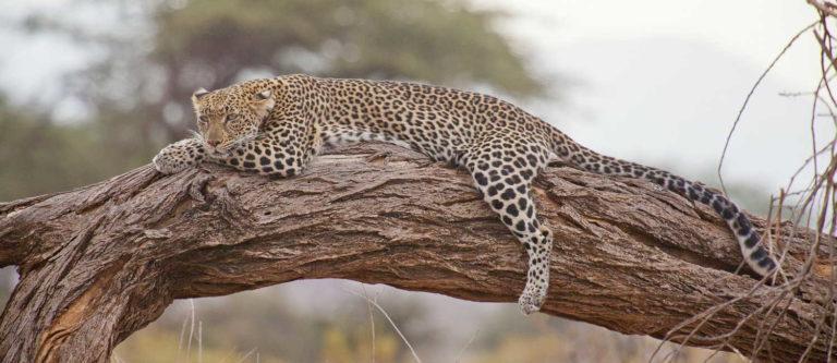 leopard-163035_1920 (1)