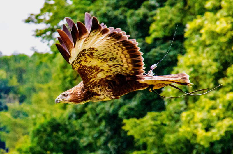 african-fish-eagle-1569771_1920