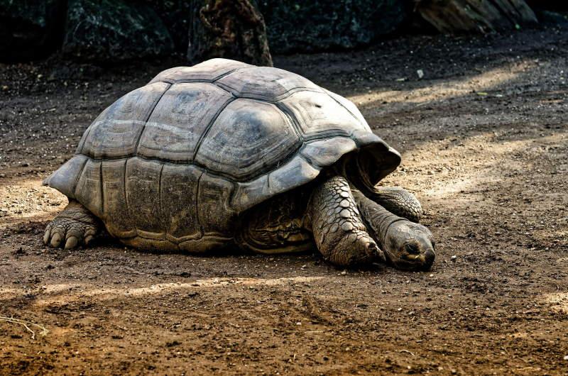 giant-tortoises-4461315_1920