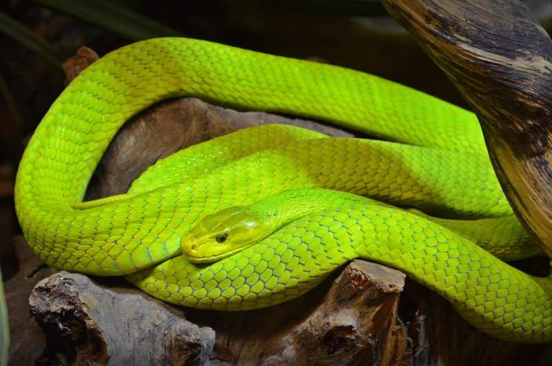 green-mamba-2348964_1920