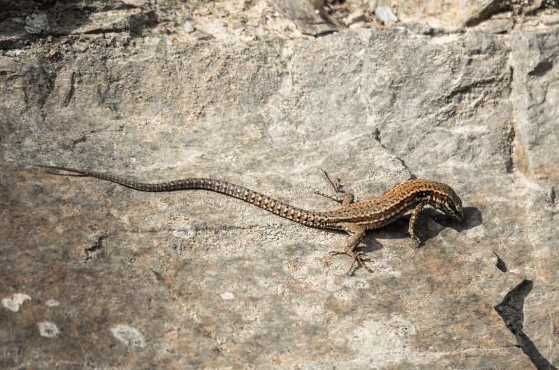 lizard-4547223_1920