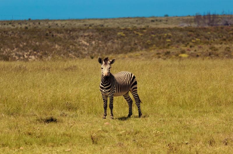 zebra-1669838_1920
